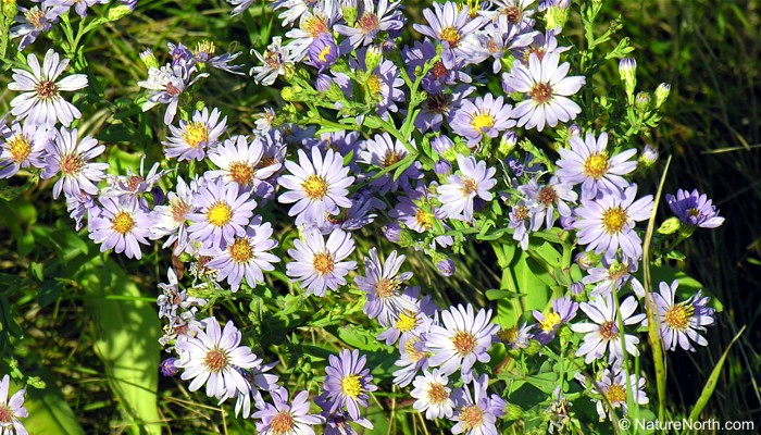 in the garden  asters in the garden in manitoba., Beautiful flower