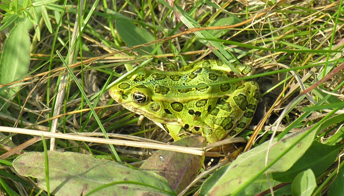 an introduction to the nature of leopard frog One of the coolest amphibians around has to be the southern leopard frog awesome to look at for its bright, spotted skin, long, pointy face and quick, powerful jump.
