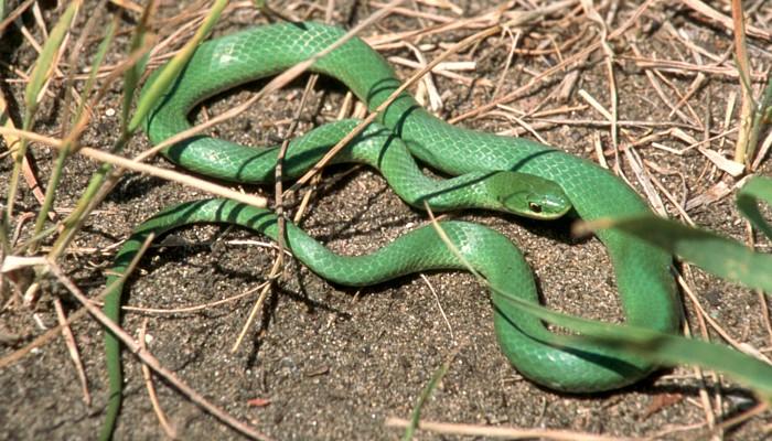 Manitoba Herps Atlas - Snakes (Colubridae, Natricidae and Xenodontidae)