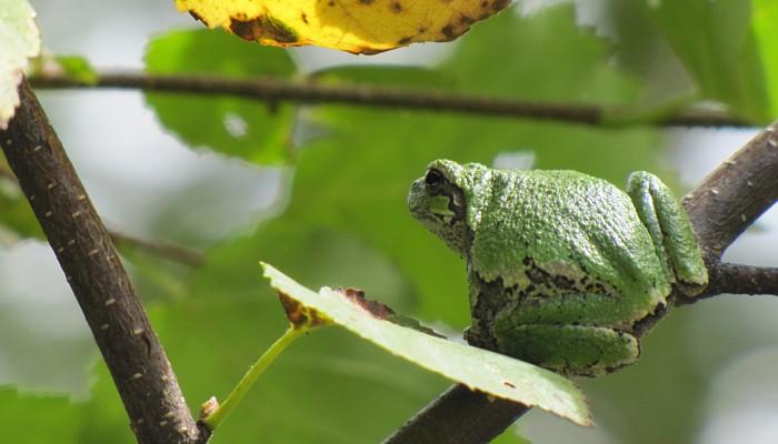 Manitoba Herps Atlas - Treefrogs (Hylidae)