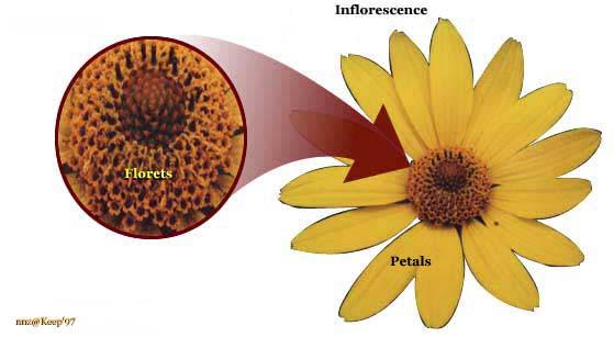 Aster Flower Diagram Wiring Circuit