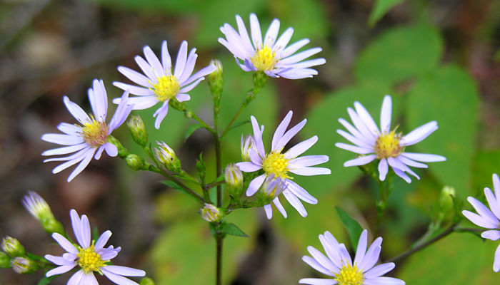 Manitobas asters mightylinksfo
