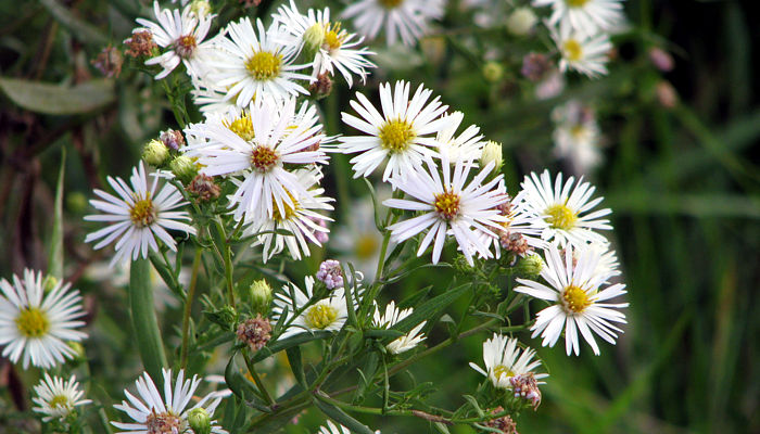 Manitobas Asters