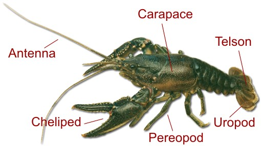Biology of the Northern Crayfish (Orconectes virilis)