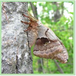 5 Promethea Moth Cocoons