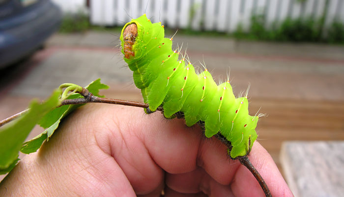 What Kind of Caterpillar Is This?