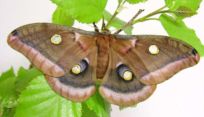 A Guide To Giant Silk Moths