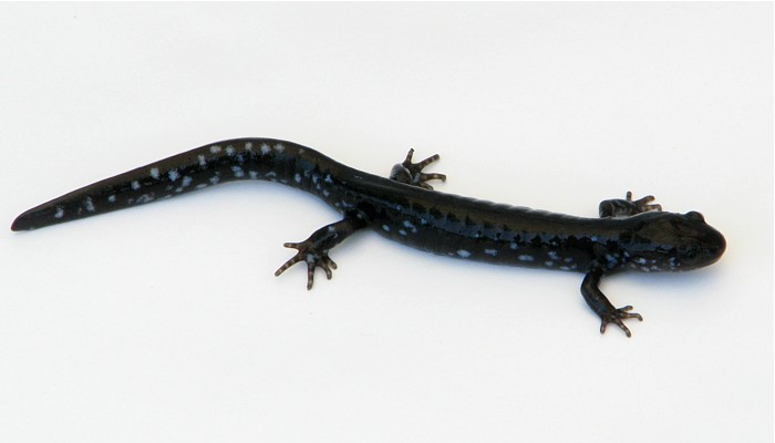 The biology of the Blue-spotted Salamander (Ambystoma ...