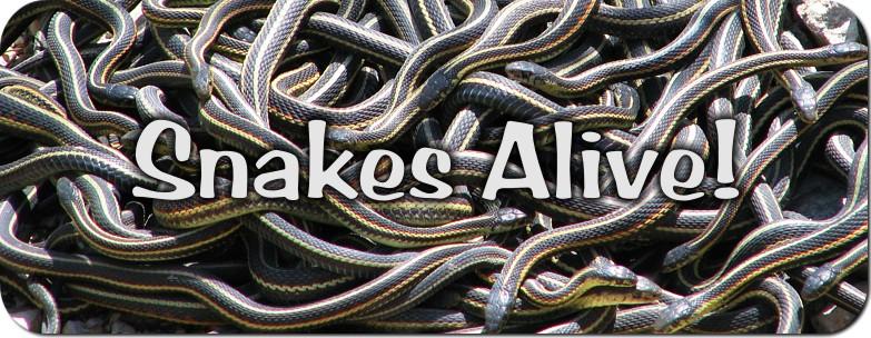 Snakes Alive - Manitoba's Red-sided Garter Snakes!
