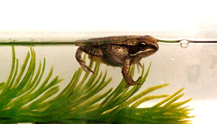 Wood frogs in the classroom for Frog transformation