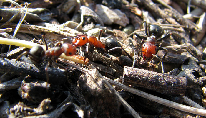 Thatching Ants!