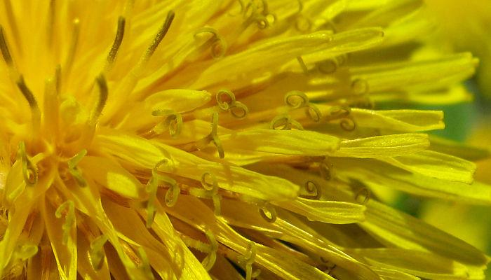The biology of dandelions thumbtest mightylinksfo