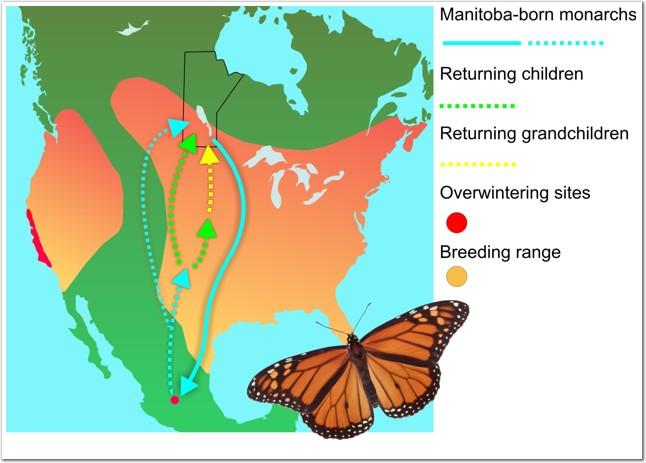 Biology of the Monarch Butterfly (Danaus plexippus)