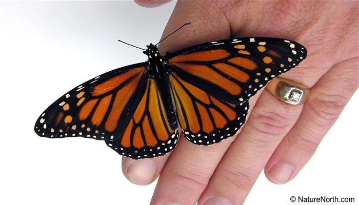 How long do monarch butterflies live?