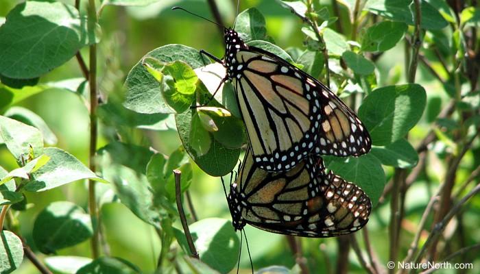 Can help Male mating success female butterflies sperm
