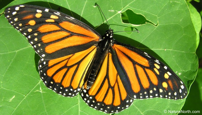 Monarch butterfly body - photo#11