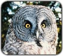 Manitoba Owl Calls