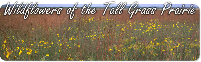 Tall grass prairie wildflowers wildflowers of the tall grass prairie mightylinksfo