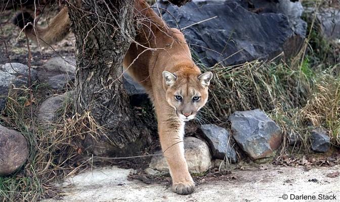 Cougars in manitoba