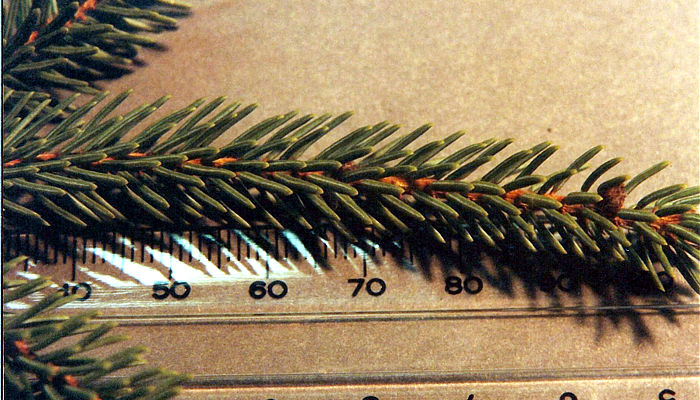 Black Spruce Needles