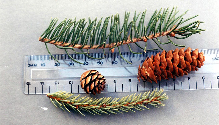 how to tell the difference between spruce and pine