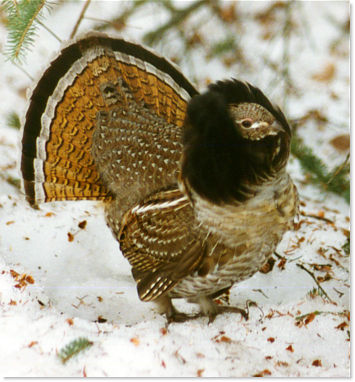 Ruffed Grouse (Bonasa umbellus) in Manitoba