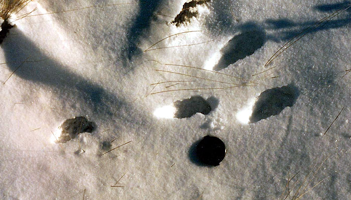Animal Tracks In The Snow Part 2
